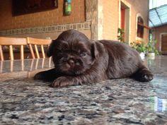 Jolie, filhote de Shih Tzu chocolate
