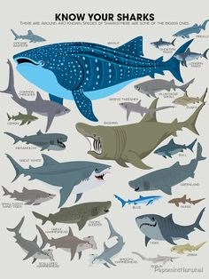 Scary Ocean, Types Of Sharks, Shark T Shirt, Marine Biology, Shark Week, Marine Life, Sea Creatures, Natural World, Tshirt Colors