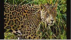 - jaguar animal pictures free for desktop, Drawing Wallpaper, Animal Wallpaper, Jaguar Tier, Tiger Sketch, Safari, Jaguar Animal, Clouded Leopard, Animal Faces, Cat Face