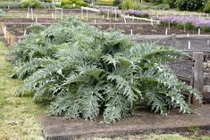Artichoke Companion Planting: Learn About Artichoke Plant Companions - Modern Backyard Vegetable Gardens, Container Gardening Vegetables, Tomato Garden, Planting Vegetables, Growing Vegetables, Companion Gardening, Gardening Tips, Growing Artichokes, Growing Tomatoes In Containers