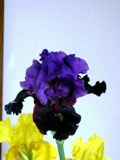 Pagan Dance Reblooming Iris