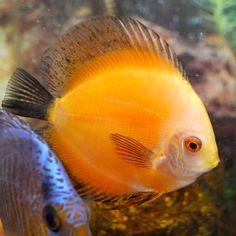 ... Hobbyist on Pinterest Discus Fish, Freshwater Fish and Aquarium Fish
