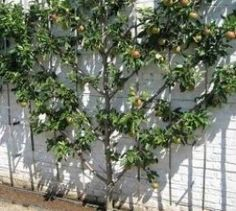 Many urban gardeners don't realise they could be growing abundant fruit in their micro backyards using the espalier technique. Here an apple tree is trained up in a fan shape which is both a feature and a productive edible garden. Small Space Gardening, Small Gardens, Gardening Tips, Vertical Gardens, Espalier Fruit Trees, Dwarf Fruit Trees, Lost Garden, Garden Screening, Screening Ideas