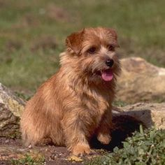 Raza de perros Norfolk Terrier