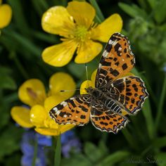The Map Butterfly: Araschnia levant - Spring brood of Map butterfly gathering nectar of a creeping buttercup flower. Limousin, France