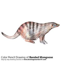 A Banded Mongoose with Color Pencils [Time Lapse]