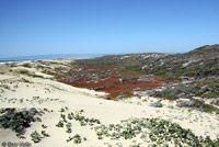 Coastal Prairie / California Legless Lizard Habitat