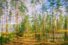 Pine land 3 by Veikko Suikkanen Pine Forest, Double Exposure, Finland, Beverly Hills, Landing, Fine Art America, Wall Art, Artwork, Paintings