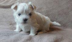 MALTESE PUPPY FROM LACHICPATTE.COM