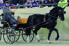 Saxony-Thuringian Heavy Warmblood stallion Volkmann