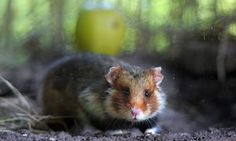 France's wild hamsters being turned into 'crazed cannibals' by diet of corn | World news | The Guardian