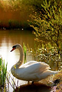 Big Bird Swan by the pond with Mother Nature. Beautiful Swan, Beautiful Birds, Animals Beautiful, Cute Animals, Pretty Birds, Love Birds, Cygnus Olor, Tier Fotos, All Gods Creatures