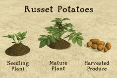 PBK: Garden Crops Part 2 - Russet Potatoes