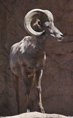 Deer And Whitetail Beautiful Creatures, Animals Beautiful, Large Animals, Cute Animals, Big Horn Sheep, Sheep And Lamb, Mundo Animal, Animal Totems, Fauna