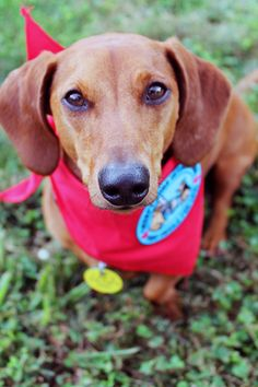 Ammo the Dachshund - Certified Therapy Dog