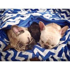 """""""I can Squeeze in and Nap right between'em"""", funny French Bulldogs"""