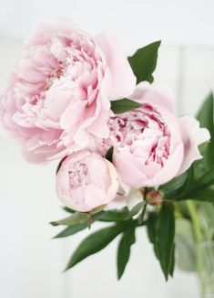 Ideas Flowers Photography Peonies Florists For 2019 Flowers Nature, Fresh Flowers, Beautiful Flowers, Pink Peonies, Pink Roses, Gras, Planting Flowers, Flower Arrangements, Wedding Flowers