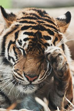 "Tiger:  ""I have something in my eye."""