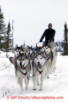 Mike Ellis and his Siberian Husky team run down the trail into the halfway checkpoint of Iditarod on Friday March My Husky, Husky Puppy, Cute Dogs Breeds, Dog Breeds, Alaska Dog, Snow Dogs, Cute Animal Pictures, Dog Life, Siberian Huskies