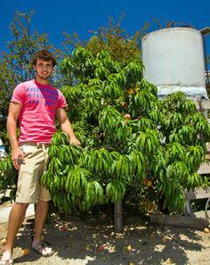 Bonanza Dwarf Peach Tree - Peach Trees   Peach Trees - Flowering - Willis Orchard Company