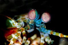 Monsters of the deep..a smashing Mantis shrimp.