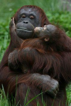 Affectionate Orangutans.. lol :D