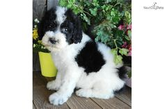 My newest want.. Sheepadoodle puppy. Xmas is coming up guys ;)