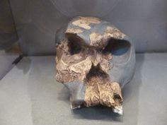 ANTROPOLOGÍA Y ECOLOGÍA UPEL: Antropologia Física - Género Homo