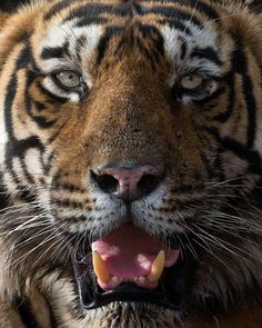 """866 Likes, 14 Comments - Mogens Trolle (@mogenstrolle) on Instagram: """"Close up of a wild tiger alpha male panting in the summer heat. Ranthambore National Park, India."""""""