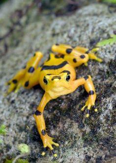 Panamanian Golden Frog, Atelopus zeteki, West Central Panama. Photo: Brad Wilson.