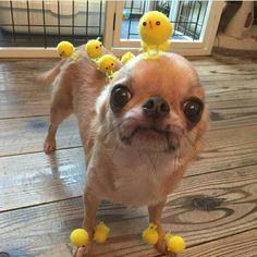 Baby Animals Super Cute, Cute Baby Dogs, Cute Little Animals, Cute Puppies, Funny Animal Jokes, Funny Animal Videos, Cute Funny Animals, Cute Chihuahua, Cute Animal Photos