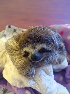 """<b>Lunita is a baby three-fingered sloth living at the <a href=""""http://www.slothsanctuary.com/"""" target=""""_blank"""">Sloth Sanctuary of Costa Rica</a>, and her face will fill your heart with pure love.</b>"""