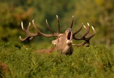 Red Deer Stag by Alex Appleby
