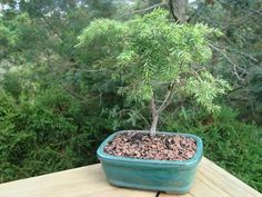Totara Podocarpus: I am a beginner to Bonsai's. My first bonsai was a Totara Podocarpus. It is really easy to look after and is a very healthy bonsai. Its leafs are thin,