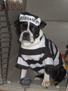 Boston Terrier Costume - Prisoner