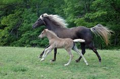 Image detail for -Breeding and sales of Rocky Mountain Horses from old-style bloodlines. History, photographs, stallion and foal information. Wardensville, West Virginia, United States.