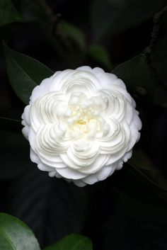 Unidentified white camellia- a beautiful formal double **** very pretty!!!