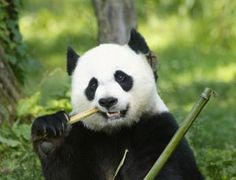 giant-panda-md.jpg (300×230)