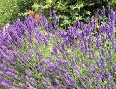 lavendel: stekken, plantafstand, snoeien, gebruik en toerisme