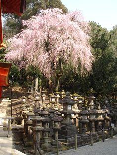Cherry trees in Japaneese cemetry Kyoto