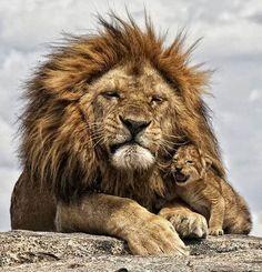leone-cucciolo-tanzania-safari-foto-pic