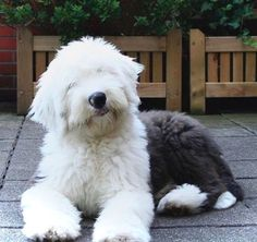 Old English Sheepdog - The Most Expensive Dog Breeds In The World, Ranked - It's Rosy Old English Sheepdog Puppy, Sheep Dog English, Sheep Dogs, Big Fluffy Dogs, Most Expensive Dog, English Shepherd, Bernedoodle Puppy, Purebred Dogs, Cute Animals