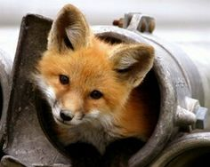 Inari Fox | arctic foxes