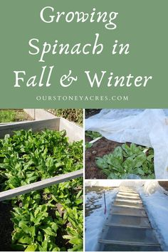 Over wintering spinach is a great way to have an extra early and very productive spring crop. #spinach #gardening #backyardgardening #vegetablegardening