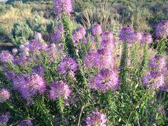One of my very favorite desert wildflowers -  Rocky Mountain Bee Plant.