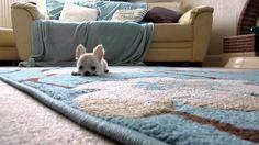 Buddy the Chihuahua pup! :)