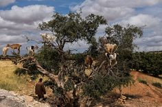Goats in a tree -    On a day trip to Essaouira a harbor city in Morocco we passed this shot. It shows some goats sitting on an Argan tree and yes they really do stand...