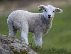 Lamb by Malabar., via Flickr