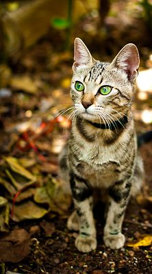 """* * BROWN TABBY: """" Me kin hear de tiny footsteps of a chipmunk from yards away. And aways me goes to find it. Pretty Cats, Beautiful Cats, Pretty Kitty, Crazy Cat Lady, Crazy Cats, Animals And Pets, Cute Animals, Cats And Kittens, Cats 101"""