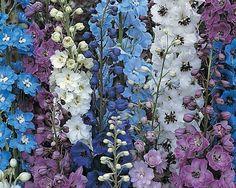 Larkspur Delphinium for the back corner Delphiniums, Gladioli, Delphinium Plant, Planting Bulbs, Planting Flowers, Flower Plants, Flower Wall, Blue Flowers, Beautiful Flowers